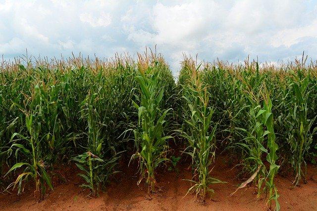 Africa_maize